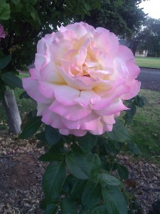 My mega rose represents a mega message - how to balance being with doing.